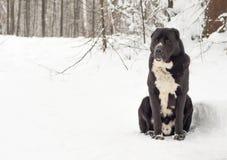 Chiots caucasiens de Dog de berger jouant la neige Photos stock