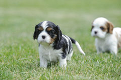 Chiots cavaliers du Roi Charles Spaniel Images stock