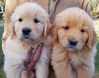 Chiots d'or adorables de race de Retriver photos stock
