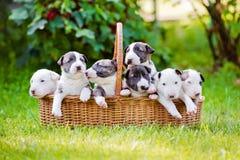 Chiots d'un bull-terrier de mois dans un backet Photographie stock libre de droits