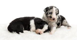21 chiots d'un jour d'un croisement sur la fourrure blanche Images stock