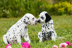 Chiots dalmatiens Photo stock