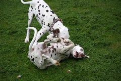 Chiots dalmatiens Image libre de droits