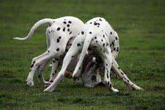 Chiots dalmatiens Images stock