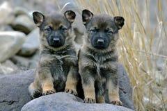 Chiots de berger allemand Photos libres de droits