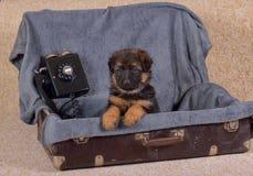 Chiots 1 de berger allemand Bébé de 5 mois Photo libre de droits