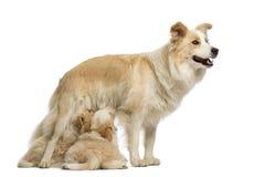 Chiots de border collie, 6 semaines de, mère de allaitement border collie, 2,5 années Photos stock