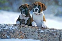 Chiots de boxeur dans la neige Photographie stock libre de droits