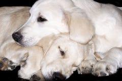 Chiots de chien d'arrêt d'or Photographie stock