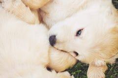 Chiots de chien d'arrêt d'or Image stock