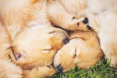 Chiots de chien d'arrêt d'or Image libre de droits