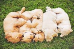 Chiots de chien d'arrêt d'or Photo stock