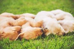 Chiots de chien d'arrêt d'or Images stock