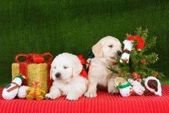 Chiots de chien d'arrêt d'or avec l'arbre de Noël Image stock