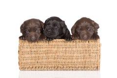 Chiots de chien d'arrêt de Labrador dans un panier Photographie stock