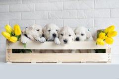 Chiots de chien d'arrêt d'or Images libres de droits