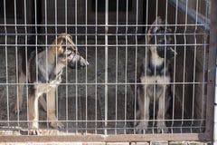 Chiots de chien de berger Photos libres de droits