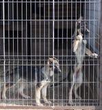 Chiots de chien de berger Photographie stock libre de droits