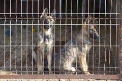 Chiots de chien de chien de berger Images stock