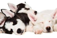 Chiots de chien de traîneau sibérien Image stock
