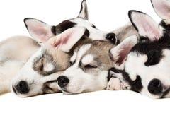 Chiots de chien de traîneau sibérien Photos libres de droits