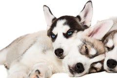 Chiots de chien de traîneau sibérien Images libres de droits