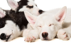 Chiots de chien de traîneau sibérien Photos stock