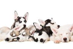 Chiots de chien de traîneau sibérien Photo stock