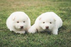 Chiots de chien de traîneau sibérien embrassant sur l'herbe verte Photographie stock