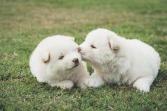 Chiots de chien de traîneau sibérien embrassant sur l'herbe verte Photos libres de droits