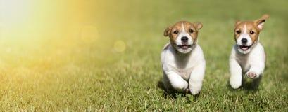 Chiots de chien jouant - idée de bannière de Web photographie stock libre de droits