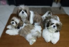 Chiots de chien de Shih Tzu Photo stock