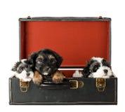 Chiots de chien terrier Image libre de droits