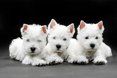 Chiots de chien terrier blanc de montagne occidentale Images stock