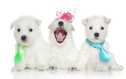 Chiots de chien terrier blanc de montagne occidentale Images stock