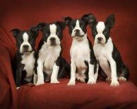Chiots de chien terrier de Boston Images libres de droits