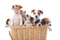 Chiots de chien terrier de Jack Russel Images libres de droits
