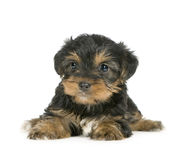 Chiots de chien terrier de Yorkshire (1 mois) Photo stock