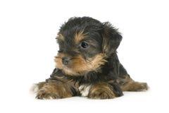 Chiots de chien terrier de Yorkshire (1 mois) Photographie stock libre de droits