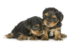 Chiots de chien terrier de Yorkshire (1 mois) Photos stock