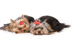 Chiots de chien terrier de Yorkshire Photos stock