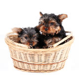 Chiots de chien terrier de Yorkshire dans un panier Photographie stock libre de droits