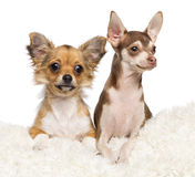 Chiots de chiwawa, 4 mois Photographie stock