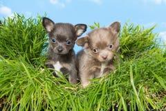 Chiots de chiwawa dans l'herbe Photographie stock