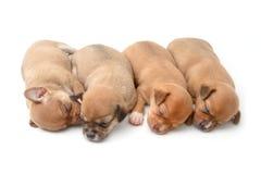 Chiots de chiwawa de sommeil sur le blanc Photo libre de droits