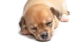Chiots de chiwawa de sommeil sur le blanc Photographie stock