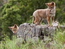 Chiots de coyote sur l'outcropping de roche Photographie stock libre de droits