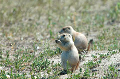 Chiots de crabot de prairie Photos libres de droits