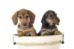 Chiots de Dachshund Image stock
