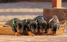 4 chiots de dobermann dans le panier Images libres de droits